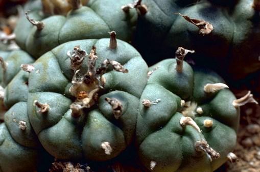http://gary.familyguy.cz/img/Peyote_Cactus.jpg